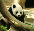 Panda vežká